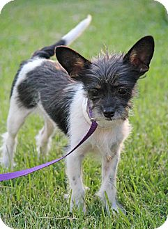 Jack Russell Terrier/Cairn Terrier Mix Puppy for adoption in Yuba City, California - Captain