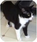 Domestic Shorthair Cat for adoption in El Cajon, California - Aurora