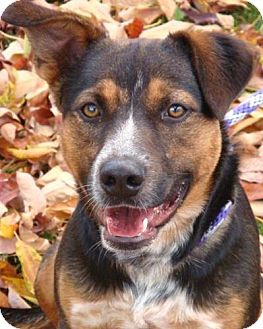 Australian Cattle Dog Mix Dog for adoption in Red Bluff, California - Zepplin