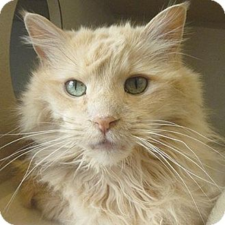 Domestic Longhair Cat for adoption in Denver, Colorado - Roger