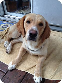 Labrador Retriever/Basset Hound Mix Dog for adoption in Upper Saddle River, New Jersey - Walter