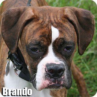 Boxer Dog for adoption in Encino, California - Brando