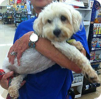 Bichon Frise/Poodle (Miniature) Mix Dog for adoption in Wichita, Kansas - Lucas