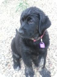 Shepherd (Unknown Type) Mix Puppy for adoption in Saskatoon, Saskatchewan - Maggie