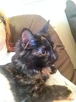 Domestic Shorthair Kitten for adoption in Marietta, Georgia - Roxy