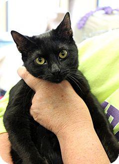 Bombay Kitten for adoption in Farmington, Michigan - Tupelo: 6 months