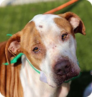 Pit Bull Terrier Mix Dog for adoption in Cumming, Georgia - Frank