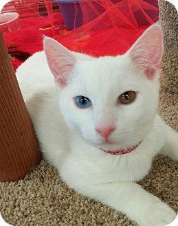 Domestic Shorthair Cat for adoption in HILLSBORO, Oregon - Orville