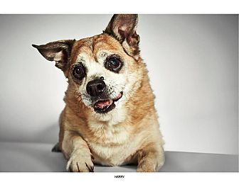 Corgi/Pug Mix Dog for adoption in New York, New York - Harry