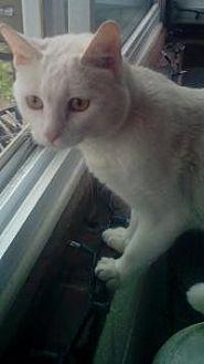 Domestic Shorthair Cat for adoption in Bear, Delaware - Lucky