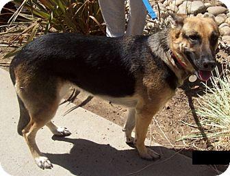 German Shepherd Dog Dog for adoption in Modesto, California - Bali