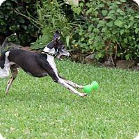 Adopt A Pet :: Gino in DFW area - Argyle, TX