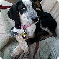 Adopt A Pet :: Harley - North Olmsted, OH