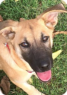 Shepherd (Unknown Type) Mix Puppy for adoption in DFW, Texas - Norma
