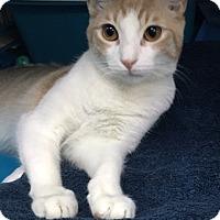 Adopt A Pet :: Stitch - New York, NY