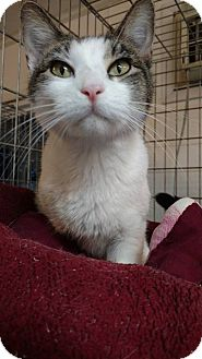 Domestic Shorthair Cat for adoption in Hanna City, Illinois - Meadows-adoption pending