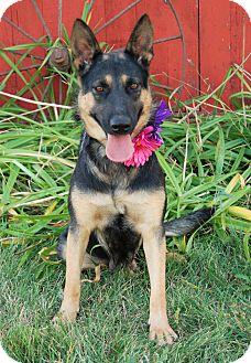 Shepherd (Unknown Type) Mix Dog for adoption in Minot, North Dakota - Micah