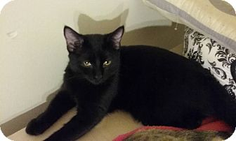 Domestic Shorthair Cat for adoption in Evans, West Virginia - Twilight