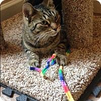 Adopt A Pet :: Tabby - Phoenix, AZ