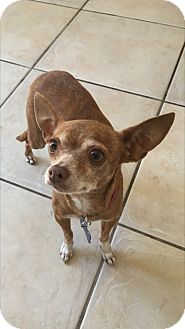 Chihuahua Dog for adoption in Las Vegas, Nevada - Coco