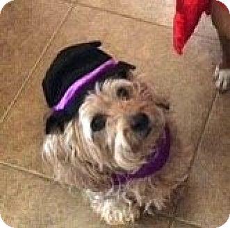 Silky Terrier/Yorkie, Yorkshire Terrier Mix Dog for adoption in Gilbert, Arizona - Peyton