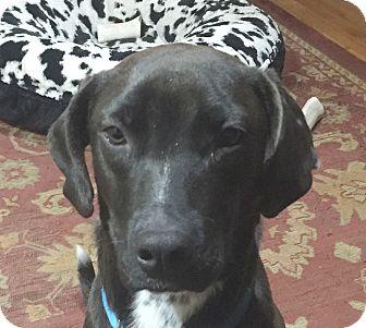 Labrador Retriever Mix Puppy for adoption in Preston, Connecticut - Ruthie AD 06-04-17