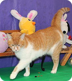 Domestic Shorthair Cat for adoption in Stockton, California - Sundae