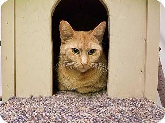 Domestic Shorthair Cat for adoption in Elyria, Ohio - Rusty