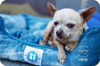 Chihuahua Dog for adoption in Los Angeles, California - Verne