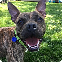 French Bulldog/Pit Bull Terrier Mix Dog for adoption in Warrenville, Illinois - Aiden