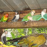 Adopt A Pet :: Lovebirds (7) - Christmas, FL