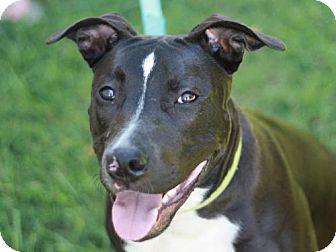 American Staffordshire Terrier Mix Dog for adoption in Staunton, Virginia - Marina