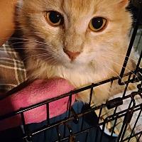 Adopt A Pet :: Vixen - Colville, WA