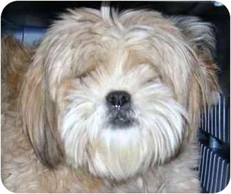 Shih Tzu/Pomeranian Mix Dog for adoption in Provo, Utah - BRUNO