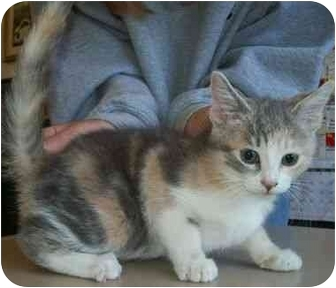 Calico Kitten for adoption in North Judson, Indiana - Roadie