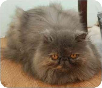 Exotic Cat for adoption in Ermine, Kentucky - Hazel