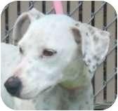 Dalmatian/Hound (Unknown Type) Mix Dog for adoption in Lincolnton, North Carolina - Olive
