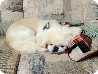 Pekingese Mix Dog for adoption in Southampton, Pennsylvania - Xavier
