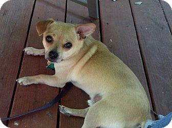 Chihuahua/Pomeranian Mix Dog for adoption in Wichita, Kansas - Yoyo