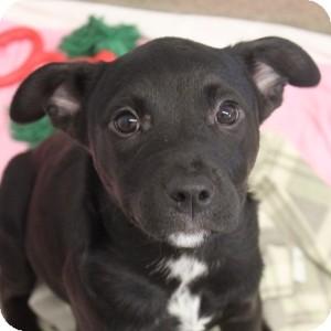 Boxer/Labrador Retriever Mix Puppy for adoption in Naperville, Illinois - KY Pups- Abby