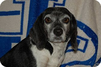 Beagle Mix Dog for adoption in Lexington, Kentucky - Molly Beagle