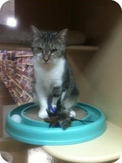 Domestic Shorthair Cat for adoption in Smyrna, Georgia - Jacqulynn