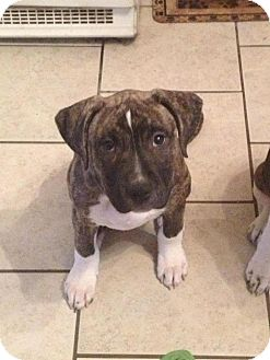 American Pit Bull Terrier Mix Puppy for adoption in Roaring Spring, Pennsylvania - Shya