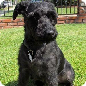 Schnauzer (Miniature) Dog for adoption in Redondo Beach, California - Victoria