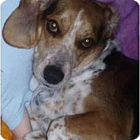 Adopt A Pet :: Louie Blue - Phoenix, AZ