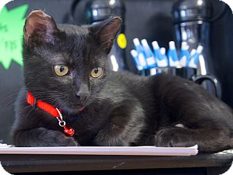 Domestic Shorthair Cat for adoption in Nashville, Tennessee - Mia