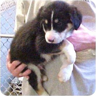 Siberian Husky/German Shepherd Dog Mix Puppy for adoption in Various Locations, Indiana - Felix
