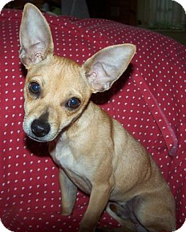 Chihuahua Mix Dog for adoption in Old Fort, North Carolina - Chewy