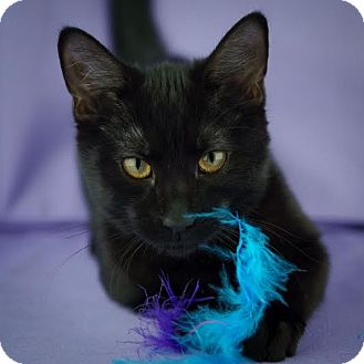 Domestic Shorthair Kitten for adoption in Columbia, Illinois - Angel