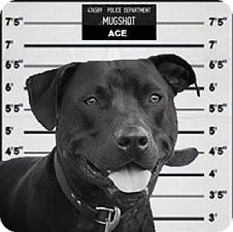 American Staffordshire Terrier/American Pit Bull Terrier Mix Dog for adoption in Staunton, Virginia - Ace
